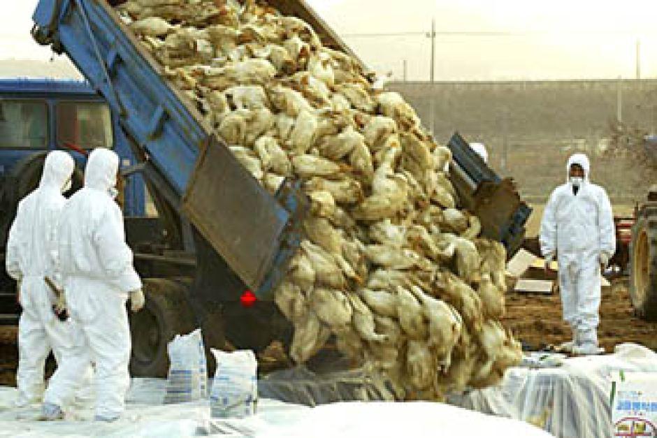 افزایش شیوع آنفولانزای پرندگان در ایران