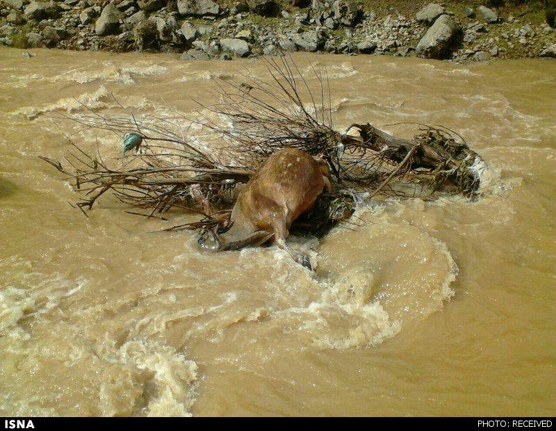 ۳۵ گوزن ایرانی بر اثر سیل متعمد خوزستان (عربستان) مفقود شدند