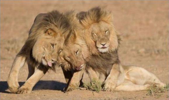وفتی که شیرها مست می شوند!-عکس