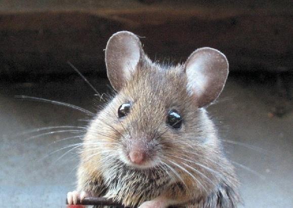 «داروی جوانی» روند پیری موش ها را معکوس کرد