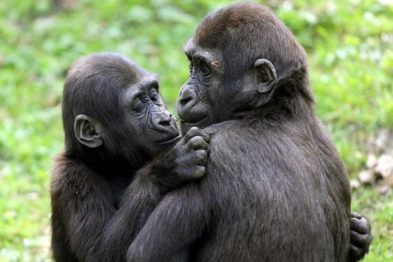 درمان میمونهای مبتلا به ابولا با داروی آزمایشی جدید