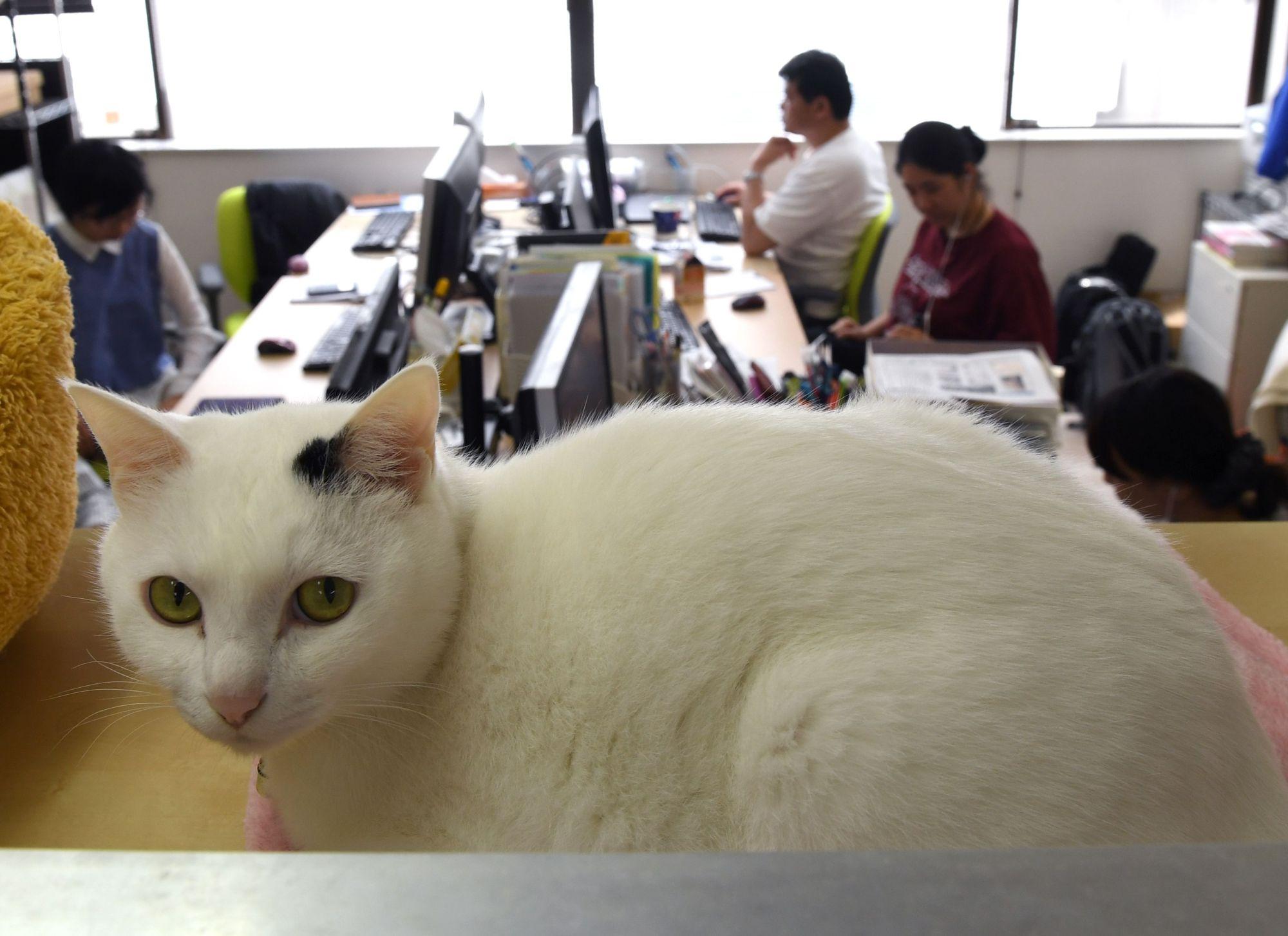 شرکت ژاپن فری: حضور گربه های خانگی در محل کار موجب کاهش استرس کارمندان می شود