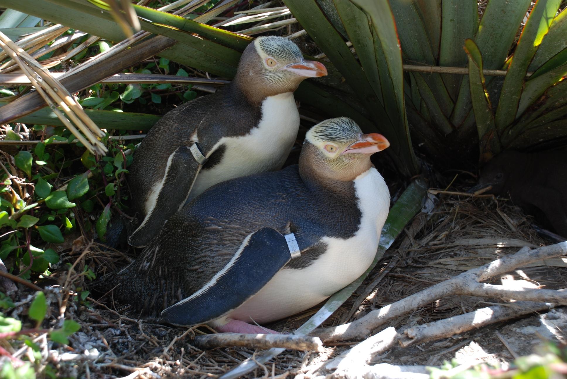 کاهش نگران کننده کمیاب ترین گونه پنگوئن