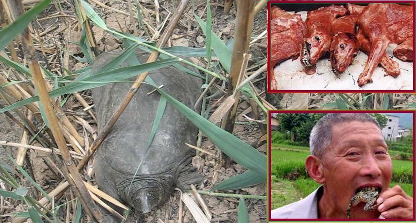 کارکنان چینی با خوردن لاک پشتهای هور الحویزه این گونه نادر را در معرض تهدید قرار دادند