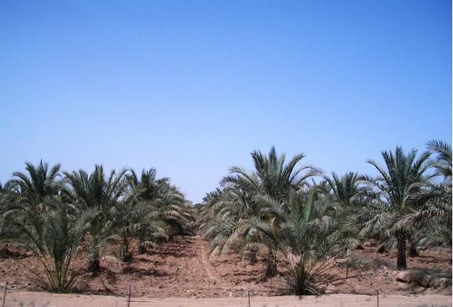 خطر جدی ونابودی نخلستانهای بوشهر در پی ورود هزاران لیتر اسید به رودخانه دالکی