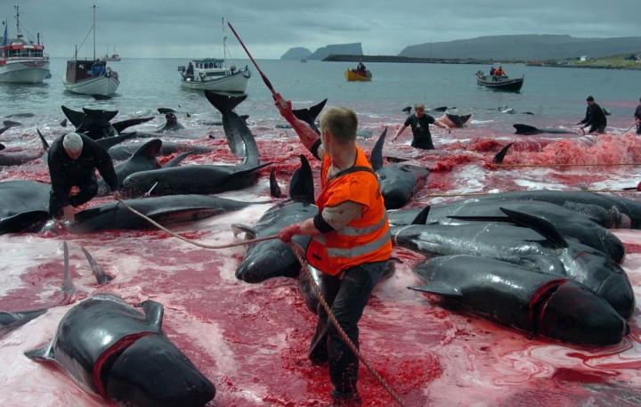 داعشیان دریایی که خود را چوپان دریا می خوانند و رسم سالیانه کشتار وال ها در گرینلند در شمال آتلانتیک +فیلم