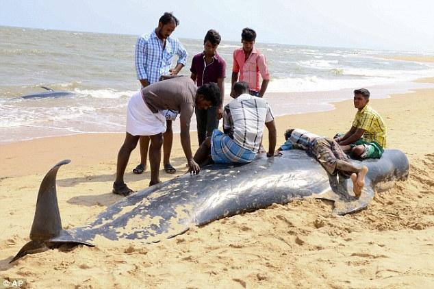 نهنگ های خلبان در ساحل هند به گل نشستند